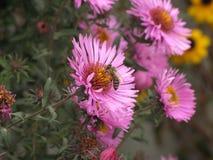 Novi-belgii de Symphyotrichum o aster y abeja de Virginia Imagenes de archivo