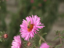 Novi-belgii de Symphyotrichum o aster y abeja de Virginia Foto de archivo libre de regalías