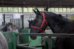 Novi Sad, Serbia, 20.05.2018 Fair, black horse in the stable, barn. Novi Sad, Serbia, 20.05.2018 Fair, on agricultural show, black horse looking out from the royalty free stock image