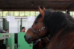 Novi Sad, Serbia, 20.05.2018 Fair, nice brown horse. In barn on agricultural show looking left stock photo