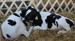 Novi Sad, Serbia, 20.05.2018 Fair, two black and white cows. Love, lay down and enjoy the hay Royalty Free Stock Images