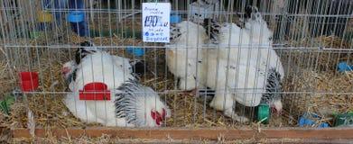 Novi Sad, Serbia, 20 05 2018 giusto, polli in una gabbia fotografie stock