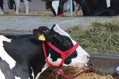 Novi Sad, Serbia, 20 05 2018 jarmark, krowy Fotografia Royalty Free