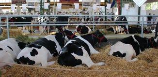 Novi Sad, Serbia, 20 05 2018 jarmark, wiele czarny i biały krowy Obrazy Royalty Free
