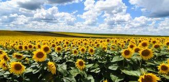 SUNFLOWER FIELDS IN THE VOJVODINA. Novi Sad,Serbia 28.06.2018 Sunflower fields in the Vojvodina photo Nenad Mihajlovic stock image