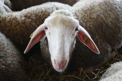 Novi Sad, Serbie, 20 05 2018 juste, tête de moutons Photos libres de droits