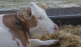 Novi Sad, Serbie, 20 05 2018 vache juste, brune et blanche Image stock