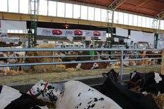 Novi Sad, Servië, 20 05 2018 Markt, vele koeien op verkoop Stock Afbeelding