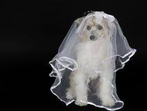 Novia del perro Imagen de archivo