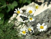 Novigrad Kroatien, fjäril, tusenskönor, fält som är härligt, sjösida, stad, rich, historia royaltyfri bild