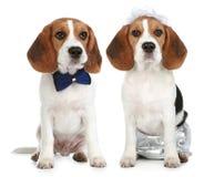 Novio y novia (perros del beagle) fotos de archivo