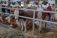 Novir Smutny, Serbia, 20 05 2018 jarmark, wiele krowy Obrazy Royalty Free