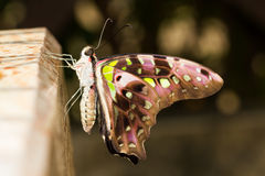Novo emerge a borboleta atada de jay foto de stock