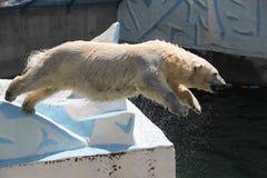 NOVOSIBIRSK, ΡΩΣΙΑ ΣΤΙΣ 7 ΙΟΥΛΊΟΥ 2016: Πολικές αρκούδες στο ζωολογικό κήπο Στοκ Εικόνες