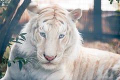 άσπρος ζωολογικός κήπος τιγρών πορτρέτου του Novosibirsk στοκ εικόνες