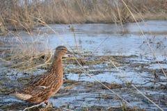 novosibirsk chasse Lac Canard Photo stock