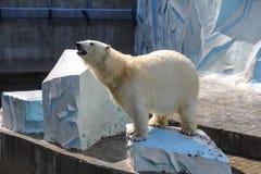 NOVOSIBIRSK, RÚSSIA 7 DE JULHO DE 2016: Ursos polares no jardim zoológico Fotos de Stock