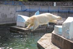 NOVOSIBIRSK, RÚSSIA 7 DE JULHO DE 2016: Ursos polares no jardim zoológico Imagem de Stock Royalty Free