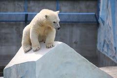 NOVOSIBIRSK, RÚSSIA 7 DE JULHO DE 2016: Ursos polares no jardim zoológico Fotografia de Stock Royalty Free