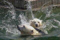 NOVOSIBIRSK, RÚSSIA 7 DE JULHO DE 2016: Ursos polares no jardim zoológico Fotografia de Stock