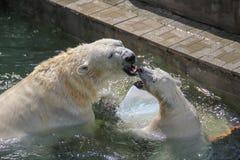 NOVOSIBIRSK, RÚSSIA 7 DE JULHO DE 2016: Ursos polares no jardim zoológico Imagens de Stock Royalty Free