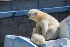 NOVOSIBIRSK, RÚSSIA 7 DE JULHO DE 2016: Ursos polares no jardim zoológico Foto de Stock Royalty Free
