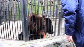 NOVOSIBIRSK, RÚSSIA - maio 1,2016: Menina que alimenta o urso marrom em um jardim zoológico video estoque