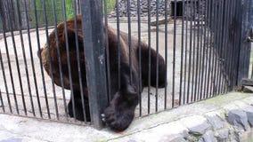 NOVOSIBIRSK, RÚSSIA - maio 1,2016: O urso de Brown janta no jardim zoológico vídeos de arquivo
