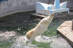 NOVOSIBIRSK, RUSLAND 7 JULI, 2016: Ijsberen bij de dierentuin Royalty-vrije Stock Afbeeldingen