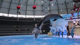 Novosibirsk, Rusland - November 26, 2016: bottlenose tonen de dolfijnen in circus bij Riddersporen stock video