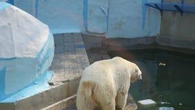 NOVOSIBIRSK, RUSLAND - September 15.2016: ijsbeer die in het vogelhuis lopen stock footage