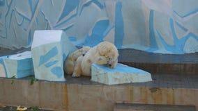 NOVOSIBIRSK, RUSLAND - September 15.2016: ijsberen die in het vogelhuis slapen stock footage