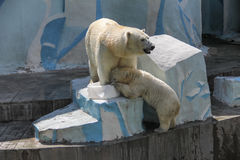 NOVOSIBIRSK, RUSSIA JULY 7, 2016: Polar bears at the zoo. White bear with her cub at the zoo NOVOSIBIRSK, RUSSIA, JULY 7, 2016 stock photography