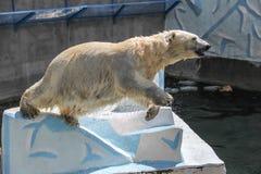 NOVOSIBIRSK, RUSSIA JULY 7, 2016: Polar bears at the zoo. White bear with her cub at the zoo NOVOSIBIRSK, RUSSIA, JULY 7, 2016 stock photos