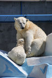 NOVOSIBIRSK, RUSSIA JULY 7, 2016: Polar bears at the zoo. White bear with her cub at the zoo NOVOSIBIRSK, RUSSIA, JULY 7, 2016 royalty free stock photography