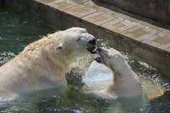 NOVOSIBIRSK, RUSSIA JULY 7, 2016: Polar bears at the zoo. White bear with her cub at the zoo NOVOSIBIRSK, RUSSIA, JULY 7, 2016 royalty free stock images