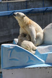 NOVOSIBIRSK, RUSSIA 7 LUGLIO 2016: Orsi polari allo zoo Fotografie Stock Libere da Diritti