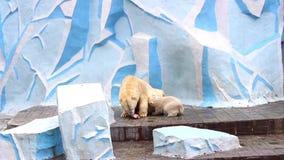 NOVOSIBIRSK, RUSSIA - May 1,2016: female polar bear feeding baby. Female polar bear feeds the little bear stock video footage