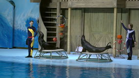 Novosibirsk, Russia - November 26, 2016: sea lions in circus show at Center of Oceanography and Marine Biology. stock video