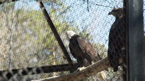 Bald Eagles Sitting on a Bench and Looking Around