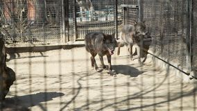 Dark Wolves Running Around the Cage of a Zoo stock footage