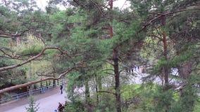 NOVOSIBIRSK RYSSLAND - MAJ 1,2016: granskning av en pinjeskog i parkera lager videofilmer