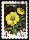 Novosieversia glacialis,系列,大约1977年 免版税库存图片