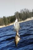 Now caught bream 2 Stock Photography