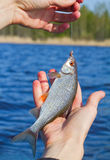 Now caught roach. Successful fishing on the river. It is now caught roach Stock Photography