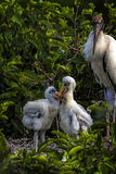 Now, Children... This wood stork mother is watching over her juveniles, while they are playing together Royalty Free Stock Photos