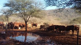Now we eat. Cattle eating cotton Stock Images