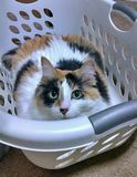 Now how am I suppose to do laundry?. My fat cat Starbrite in my laundry basket Royalty Free Stock Image