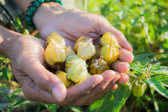 Now keep in mind the cape gooseberry given interrupt. Royalty Free Stock Photography