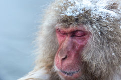 Now monkey Macaque Onsen Royalty Free Stock Photos